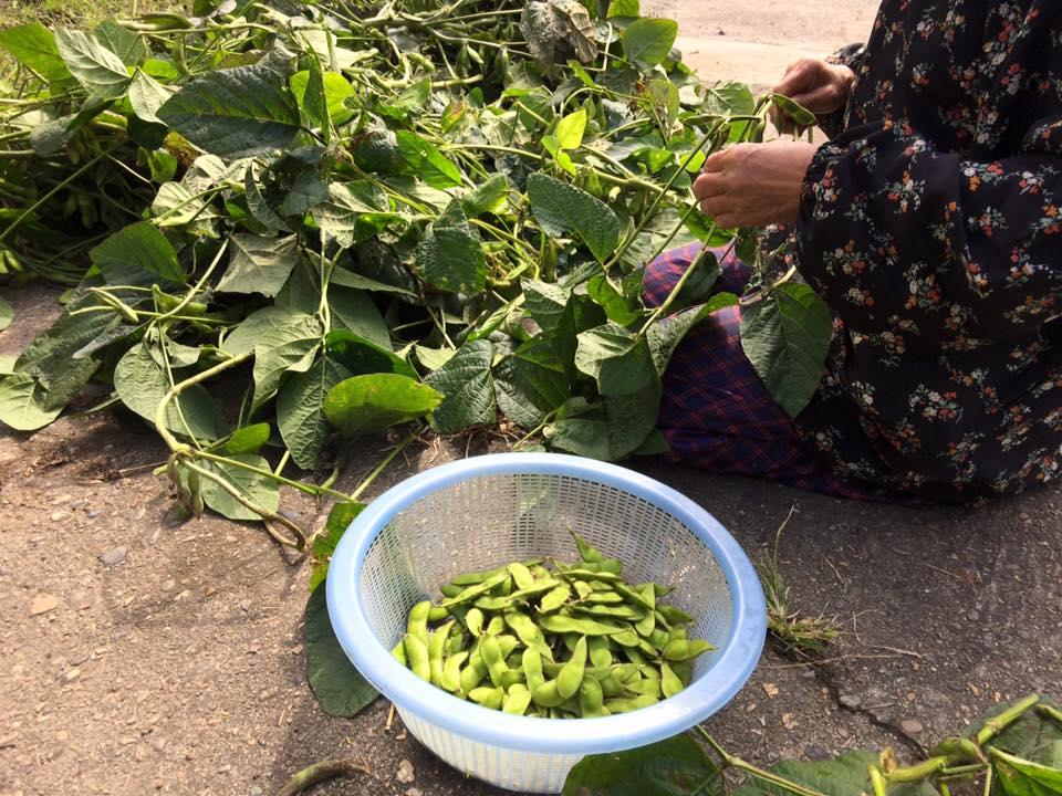 『無の境地』で枝豆を収穫しました